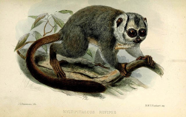 Ilustracja przedstawiająca trasiera z Proceedings of the Zoological Society of London, The Biodiversity Heritage Library
